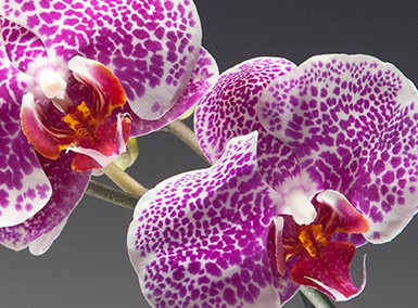 Westerlay Orchids Website